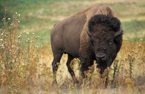 ag-research-service-bison-public-domain