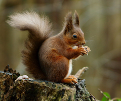 Photo: A red squirrel in the forest (Sciurus vulgarism). http://www.flickr.com/photos/peter-trimming/6583159839/ cc-by-2.0.