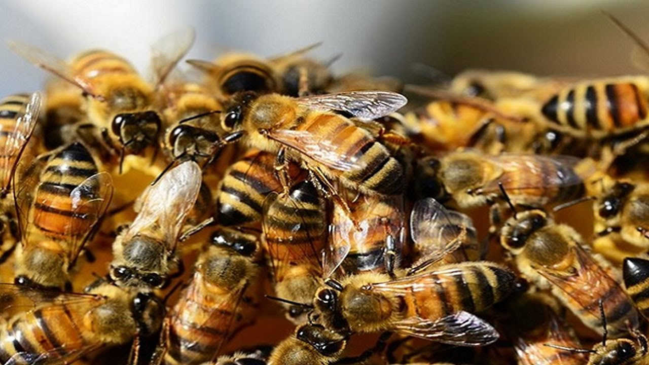 honey bees dying