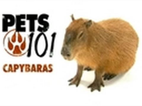 Capybaras - Food or pet? - Self-Reliance Central