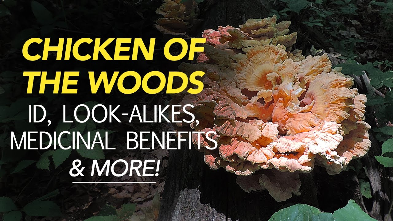 Chicken of the Woods - Yours for the taking - Self ...